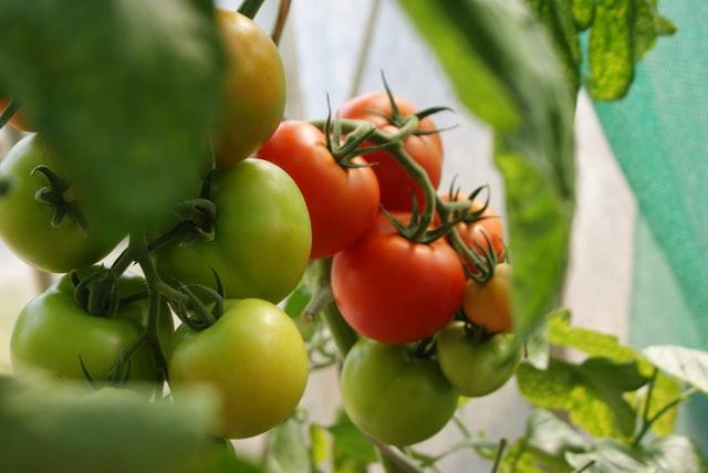 organic farming of tomatoes